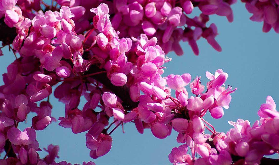 L'arbre de Judée, une teinture naturelle et printanière